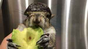 Seymour the Squirrel Safely Eating Avocado [Video]