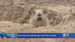 Prairie Dogs 'Crisis' Impacting Boulder County [Video]