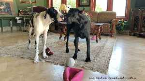 Great Dane puppy can't get enough of play time [Video]