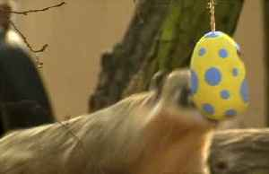 Animal residents treated to Easter egg hunt at London Zoo [Video]