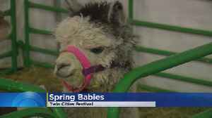 Twin Cities Festival: Spring Babies [Video]
