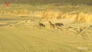 News video: Father Rescues Infant Son From Dingo's Jaws on Australian Tourist Island