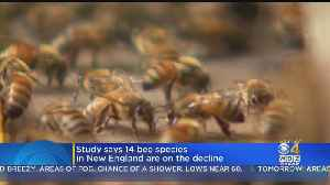 Study: 14 Bee Species In New England Are On The Decline [Video]