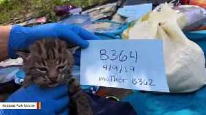 Bobcat That Survived California Wildfire Gives Birth To Four Kittens [Video]