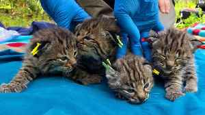 Bobcat Survived California Wildfire And Birthed Four Kittens [Video]