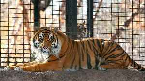 Zookeeper Hospitalized After Tiger Attack [Video]