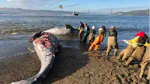 Gray Whales Keep Dying From Boat Strikes In San Francisco Bay Area [Video]
