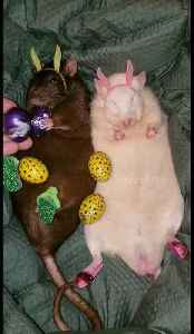 Right holiday, wrong rodent: Easter rats celebrate with eggs [Video]