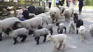 Spring lambs herded though London city farm on Easter Sunday [Video]