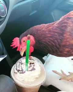 Confused Chicken Wants to Drink Milkshake [Video]