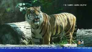 Tiger Attacks Zookeeper At Kansas Zoo [Video]