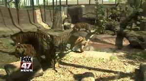 Zookeeper suffers 'lacerations and punctures' in tiger attack [Video]