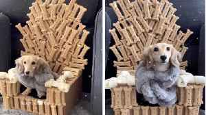 Game Of Bones: Adorable Dachshund Sits On Top Of Iron Throne Made From Bones [Video]