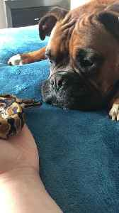 Pooch and Snake Get Along Great [Video]