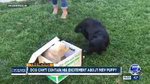 Viral video: Dog can't contain his excitement about new puppy [Video]