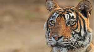Bengal Tigers Face Extinction In A Final Stronghold [Video]