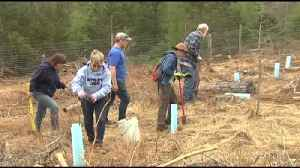 VIDEO Crews plant hundreds of hybrid chestnut trees on Earth Day [Video]