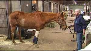 VIDEO Horse in rehabilitation after being attacked by 2 dogs [Video]