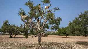 Campaigners Lift Lid On Popular Tourist 'goats In Trees' Photo Spot – Claiming It Is Staged For Money [Video]