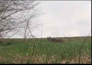 Bobcat Spotted During Turkey Hunt in Iowa [Video]
