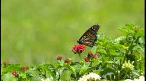 Golf courses trying to protect monarch butterflies [Video]