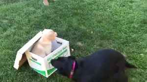 News video: Dog Surprised with New Puppy in Box