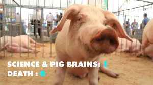 Scientists kept pigs' brains alive after their deaths [Video]