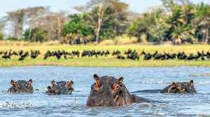 28 Hippos Found Dead In Ethiopian National Park [Video]