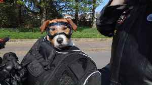 Adventurous Jack Russell loves nothing more than the feel of the wind in her fur as she travels on her owner's motorbike - dre [Video]