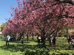 Cherry Blossom Festival To Take Place At Brooklyn Botanic Garden [Video]