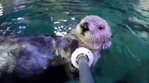 News video: 22-Year-Old Charlie, The Oldest Southern Sea Otter At Any Zoo Or Aquarium, Has Died