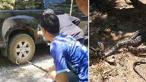 News video: Frantic Chase To Catch King Cobra Hiding Under Car