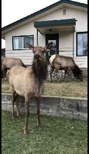 Docile elk suddenly chargers at photographer [Video]
