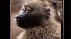 Baboons' Gut Makeup Determined By Soil? [Video]