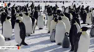 Thousands Of Emperor Penguin Chicks Drowned Due To Breaking Up Of Sea Ice: Report [Video]