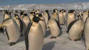 Are the Antarctic's Emperor penguins disappearing? [Video]