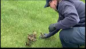 Indiana Firefighters Rescue Ducklings Stuck in Storm Drain [Video]