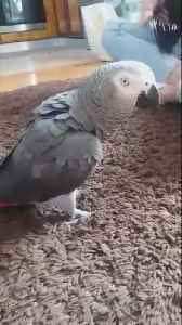 Parrot sees owner jumping, flawlessly imitates her [Video]