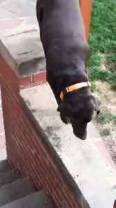 Dog Falls off Staircase Railing [Video]