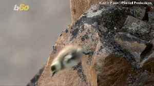 Jaw-Dropping Footage of One-Day Old Baby Goslings Cliff Diving Off a 400-Foot Mountain [Video]