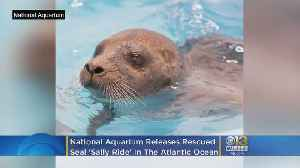 National Aquarium Releases Rescued Seal Sally Ride In Ocean City [Video]