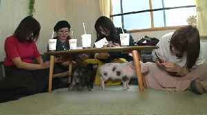 Watch: Teacup pigs take centre stage at Tokyo café [Video]
