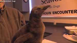 SeaWorld San Diego welcomes new king penguin [Video]