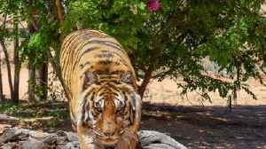 News video: Former Las Vegas illusionist attacked by tiger