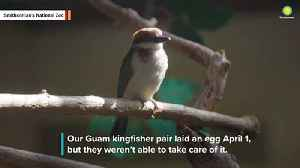 Watch A Guam Kingfisher Hatch At Smithsonian's National Zoo [Video]