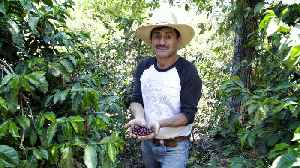 Growing Coffee In the Shadow of a Volcano [Video]