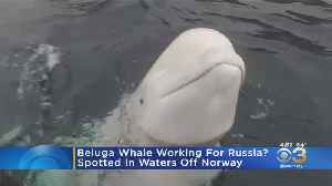Beluga Whale Spotted Off Coast Of Norway May Have Been Trained By Russian Navy [Video]