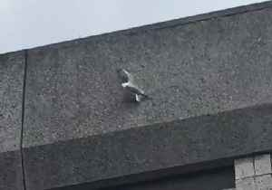 Firefighters Rescue Seagull Stuck to Side of Liverpool Building [Video]