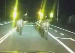 Moo-ve It! Rogue Cows Guided Home by Police in California [Video]