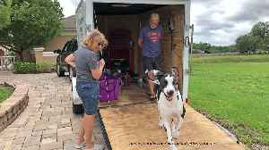 Great Dane loves to run up and down trailer ramp [Video]